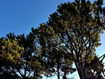 Pine Trees, Algarve
