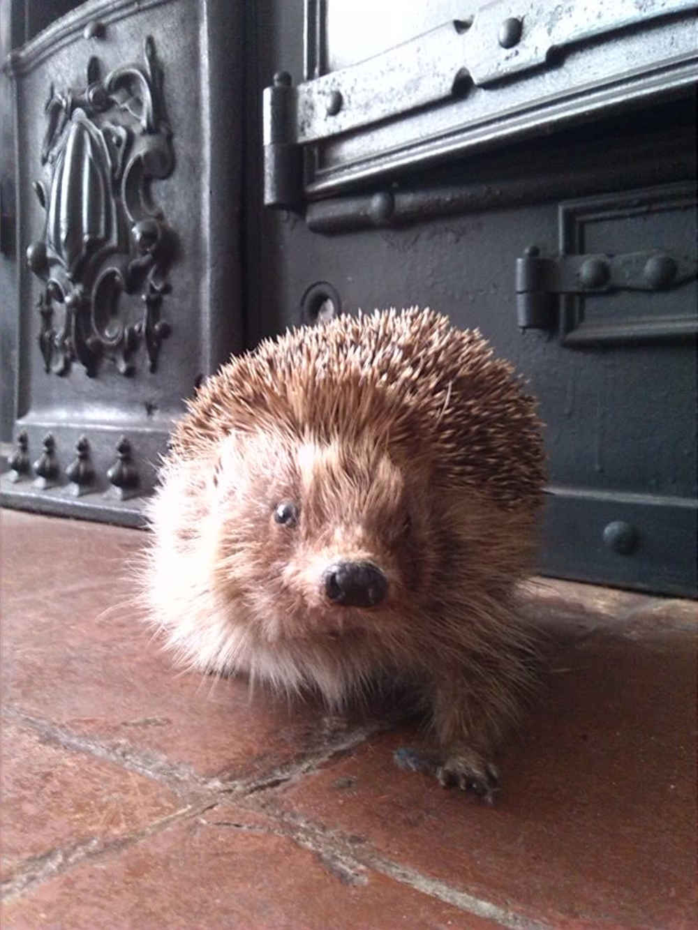 Dickens Museum hedgehog, Bill Spikes