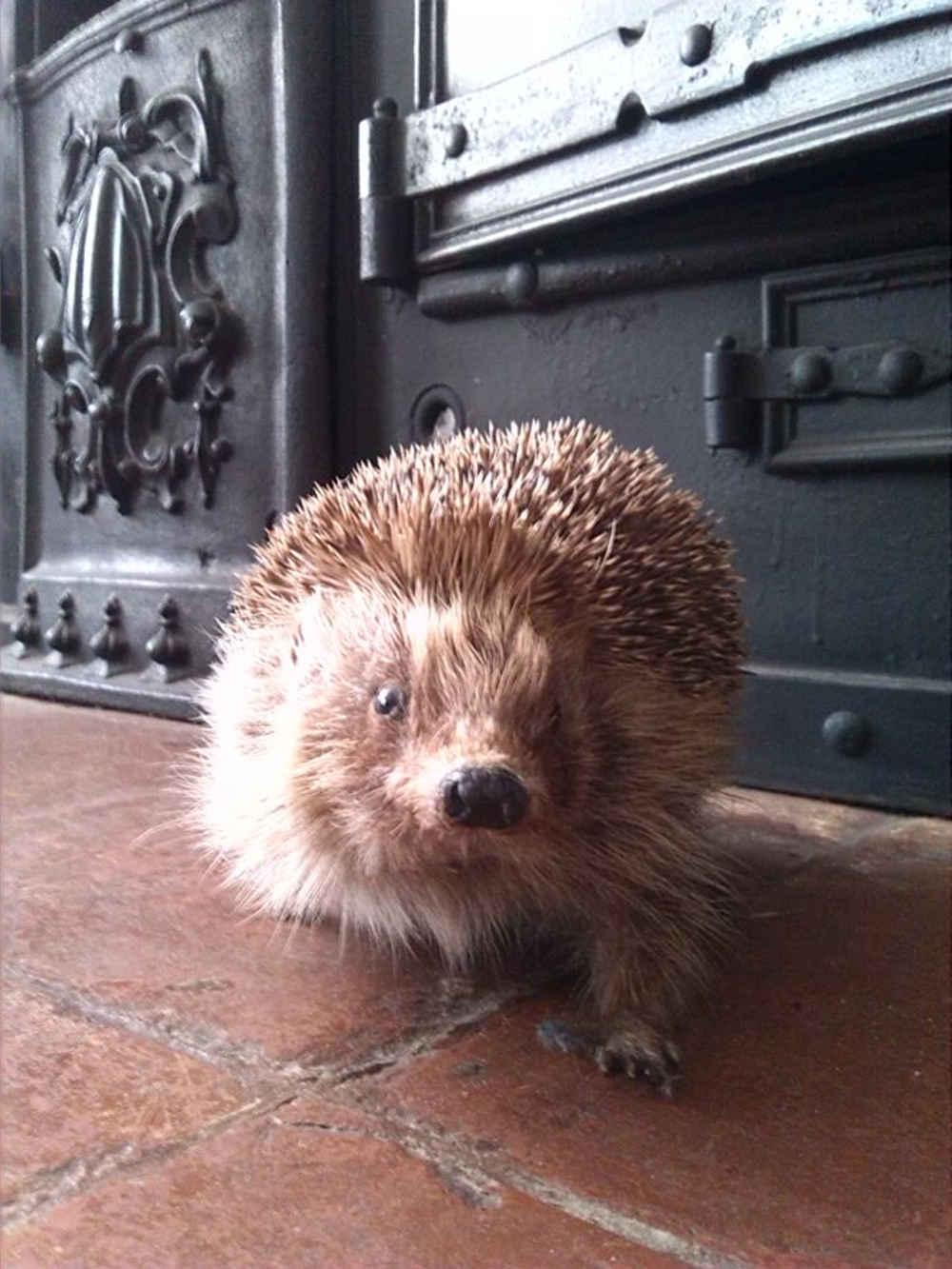 Hedgehog, Bill Spikes